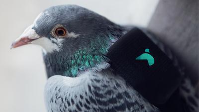 Британские ученые, маркетологи и голуби с рюкзаками