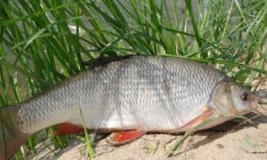 Дешевая прикормка для ловли белой рыбы