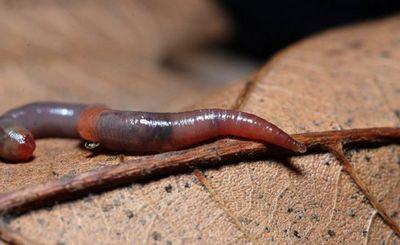 Дождевые черви бывают гигантскими и способны спариваться часами - «наука»
