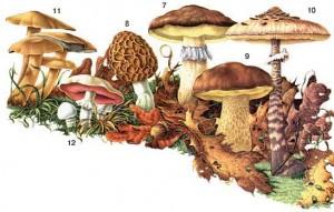 Как отличить ложный гриб двойник от съедобного