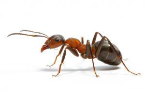 Как подобрать муравьиную кислоту?