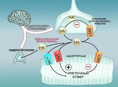 Ученые обнаружили новый антистрессовый механизм в сердечных клетках