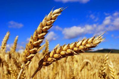 Ученые запатентовали пшеницу с повышенной усваиваемостью фосфора