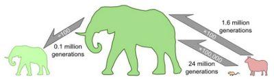 Учёные высчитали скорость превращения мыши в слона